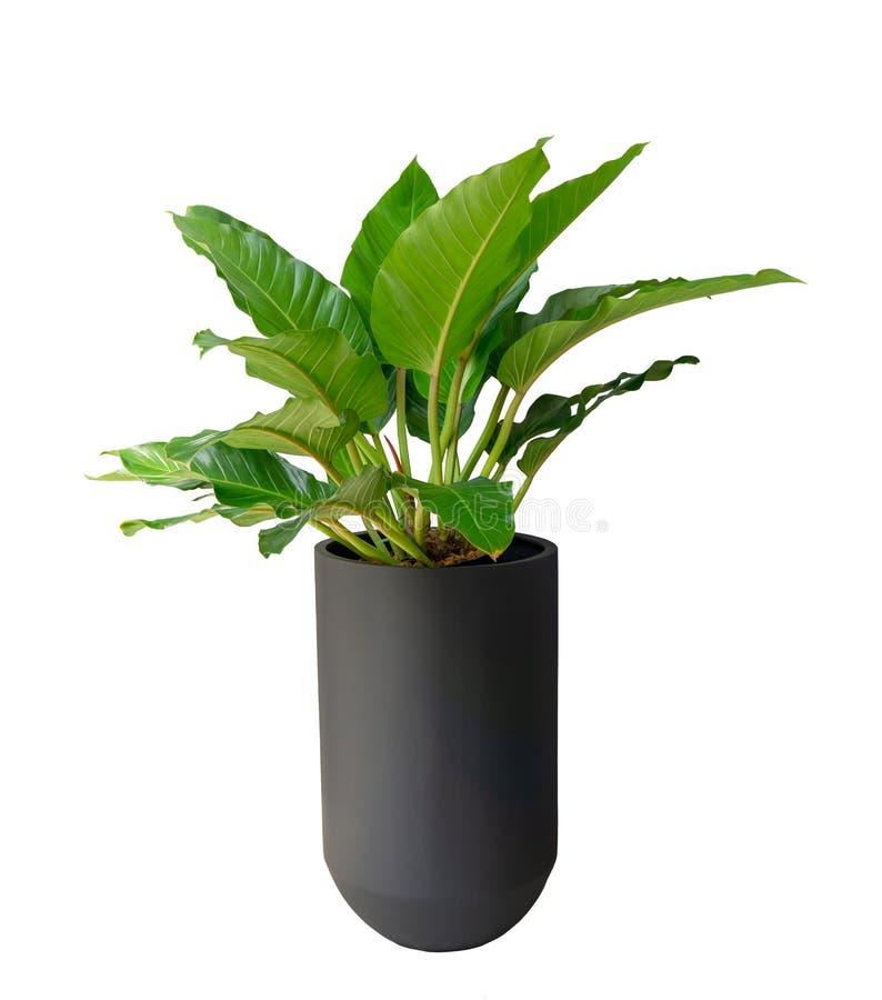 De grote groene bladeren van de binnenstruik van Filodendron in een lange zwarte die cilinder vormen pot op witte die achtergrond royalty-vrije stock afbeeldingen