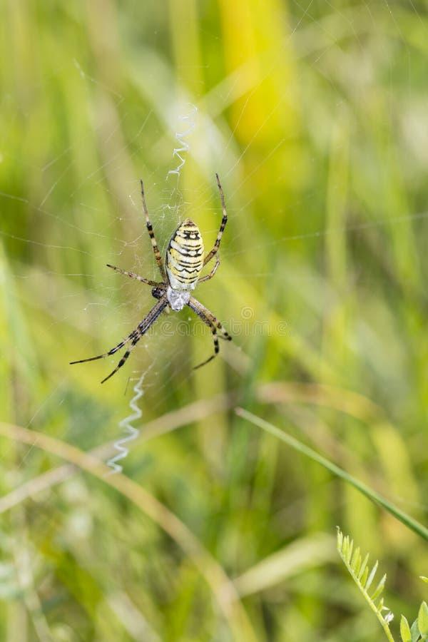 De grote groene spin zit op het Web stock fotografie