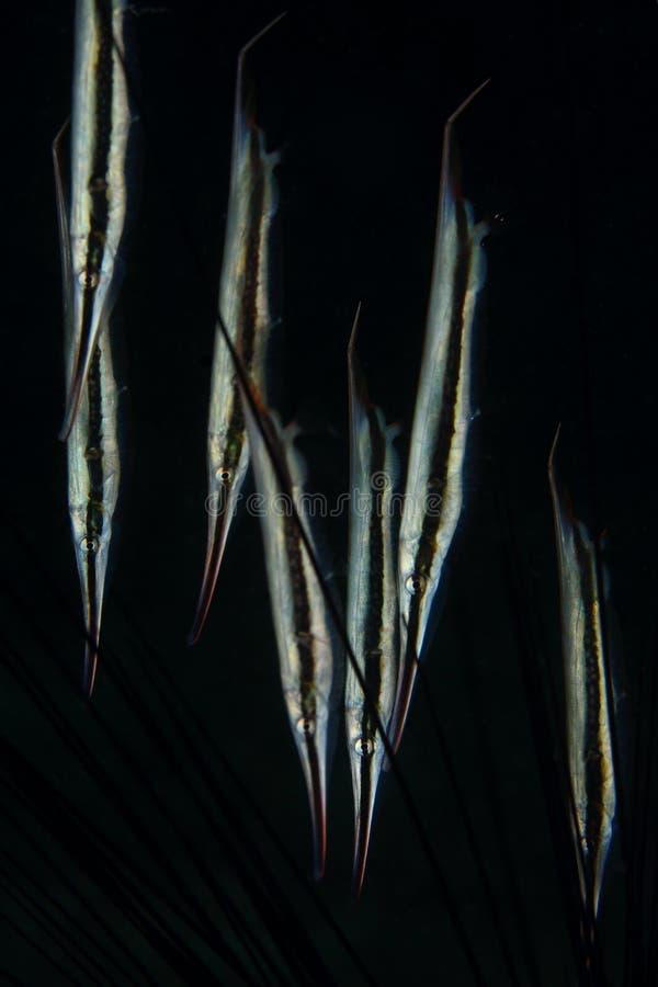 De grote groep van scheermesvissen bij zwarte achtergrond, Pulah Weh, Banda aceh stock afbeeldingen