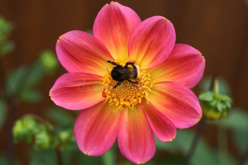 de grote hommel zit op een knop van een rode bloem royalty-vrije stock afbeeldingen