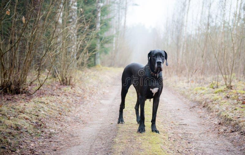 De grote hond van de Deen stock fotografie