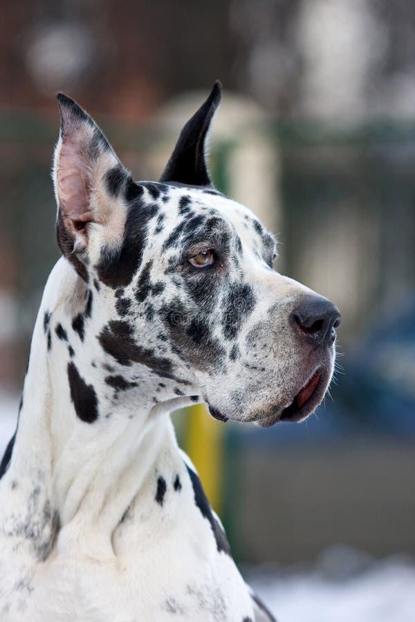 De Grote hond van de Deen royalty-vrije stock afbeeldingen