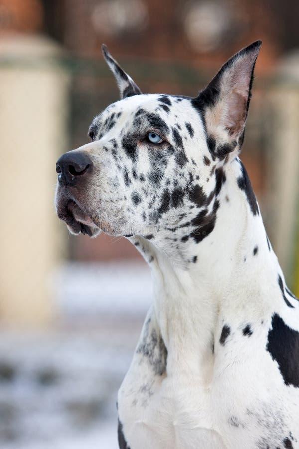 De Grote hond van de Deen stock foto's