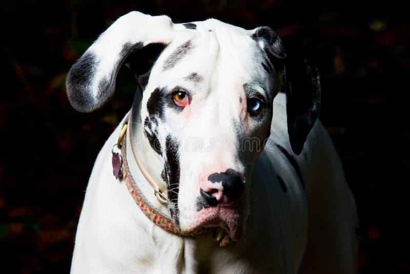De grote Hond van de Deen stock foto