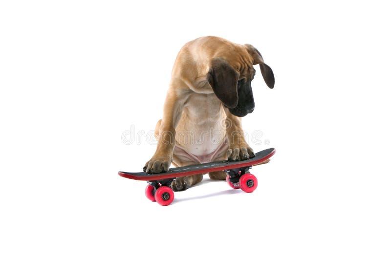 De grote hond van de Deen op skateboard stock fotografie