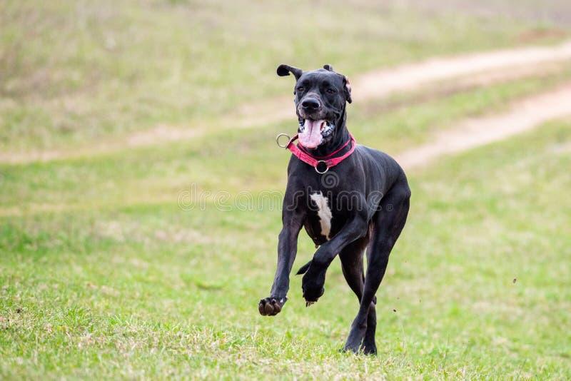 De grote hond van de Deen stock afbeeldingen