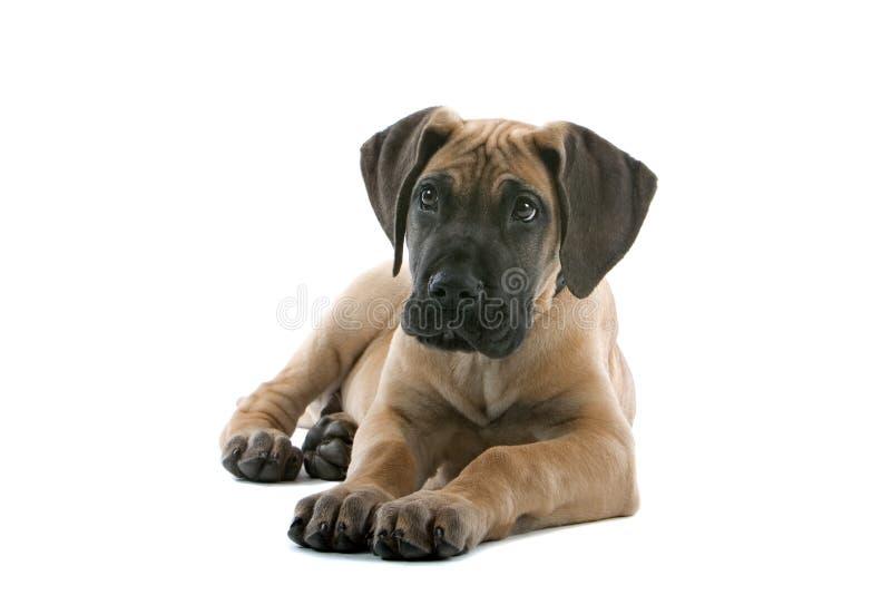 De grote hond van het Deenpuppy stock afbeeldingen