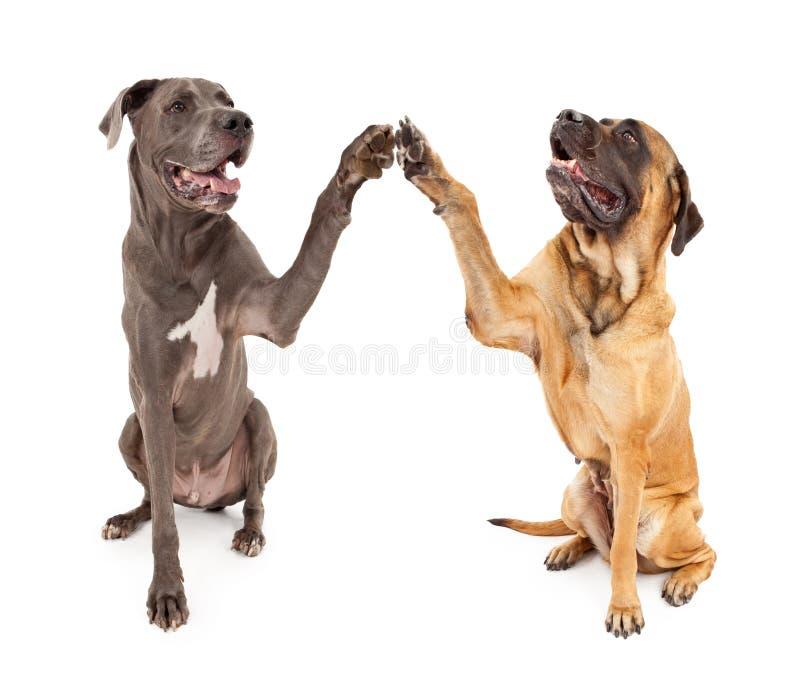 De grote Honden die van de Deen en van de Mastiff Handen schudden royalty-vrije stock foto's