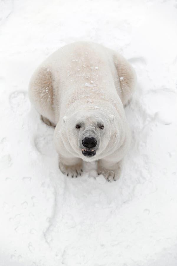 De grote ijsbeer in de sneeuw, kijkt roofdier royalty-vrije stock afbeeldingen