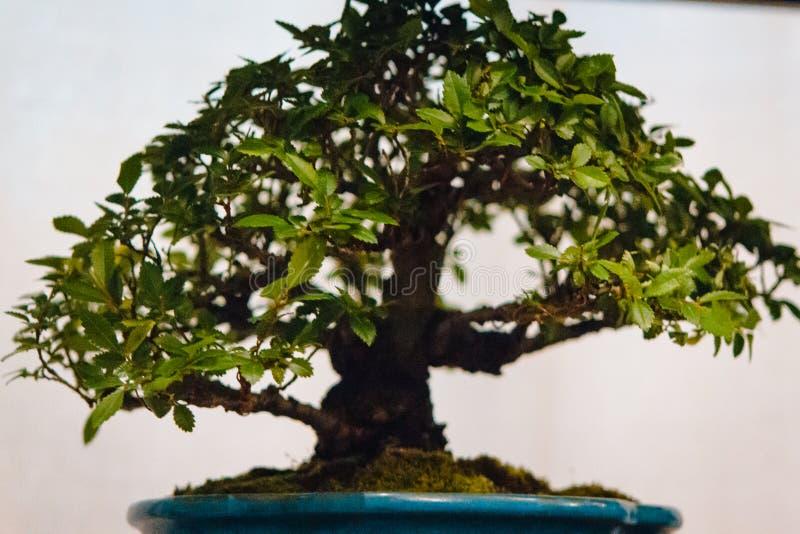 De grote Japanse boom van de esdoornbonsai royalty-vrije stock foto