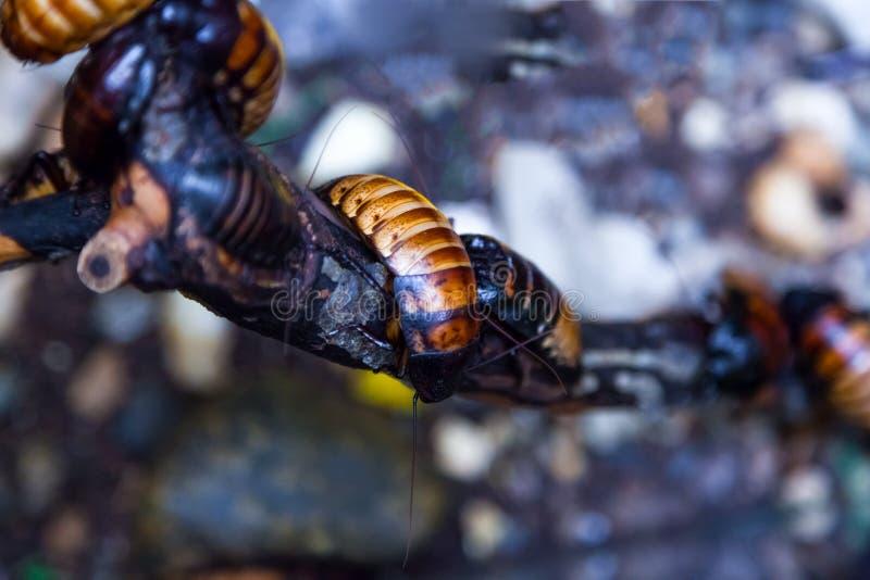 De grote kakkerlakken van Madagascar stock fotografie