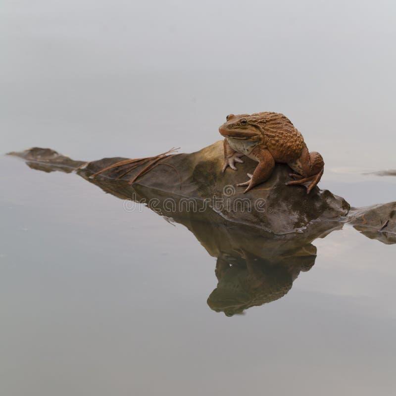 De grote kikker stock afbeelding