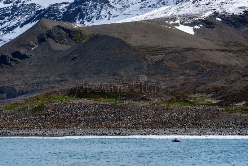 De grote kolonie van KoningsPenguin bij St Andrews Bay, mening van het water van het strand dat in pinguïnen, persoon in opblaas stock fotografie