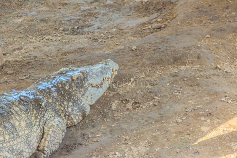 De grote krokodil loopt in het opdrogen van het moeras De krokodil royalty-vrije stock foto