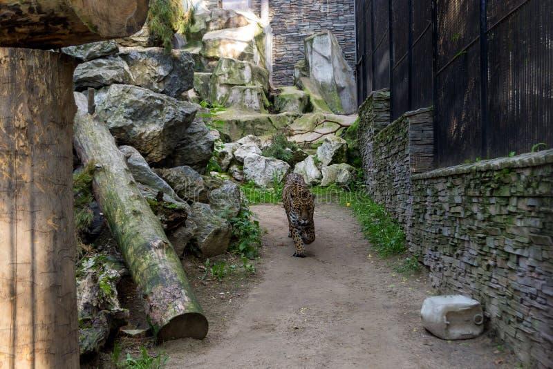 De grote kwade tijger van Bengalen wandelt rond royalty-vrije stock afbeelding