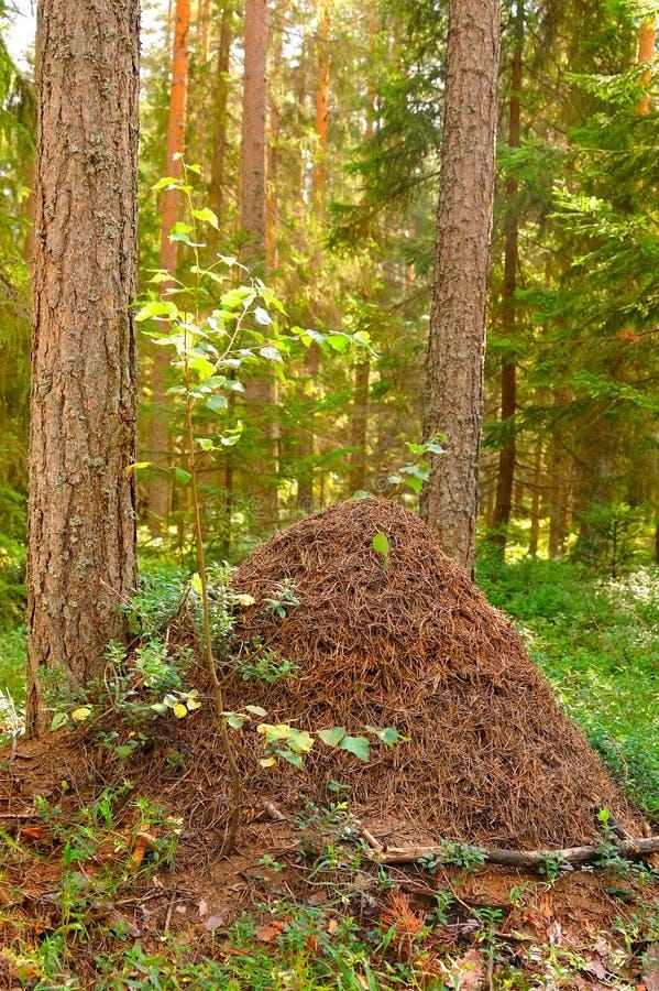 De grote mierenheuvel in hout stock afbeeldingen