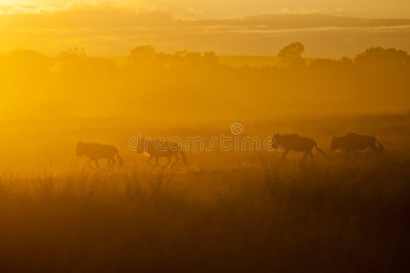 De grote migratie, Masai Mara, Kenia stock afbeeldingen