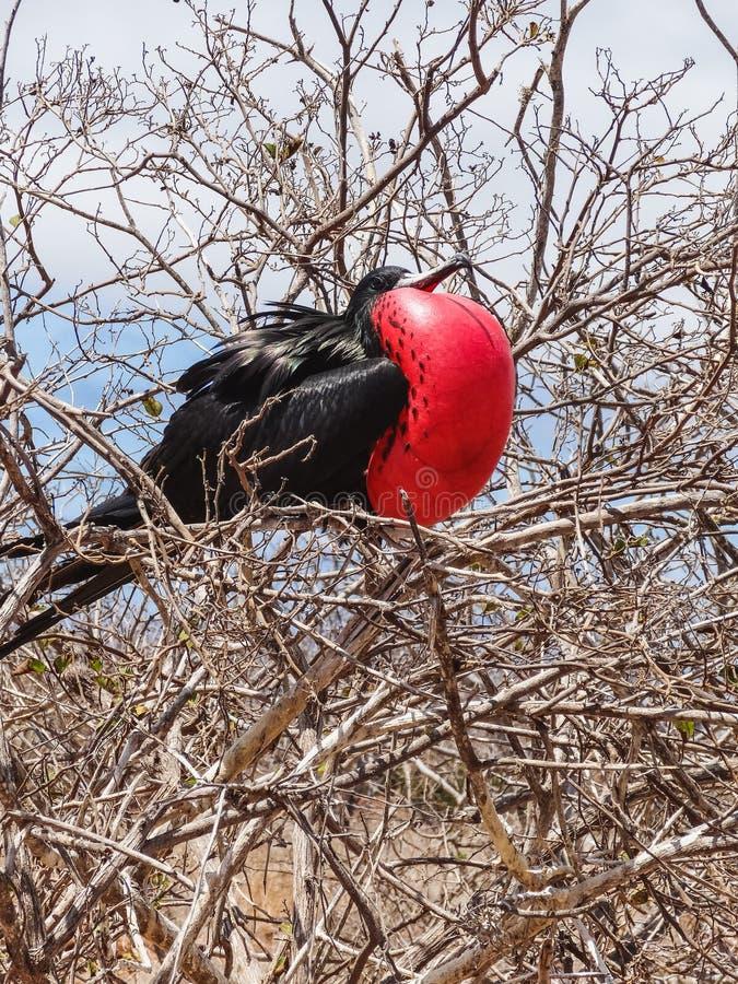 De grote minderjarige van frigatebirdfregata op genovesaeiland nationaal de Galapagos royalty-vrije stock foto
