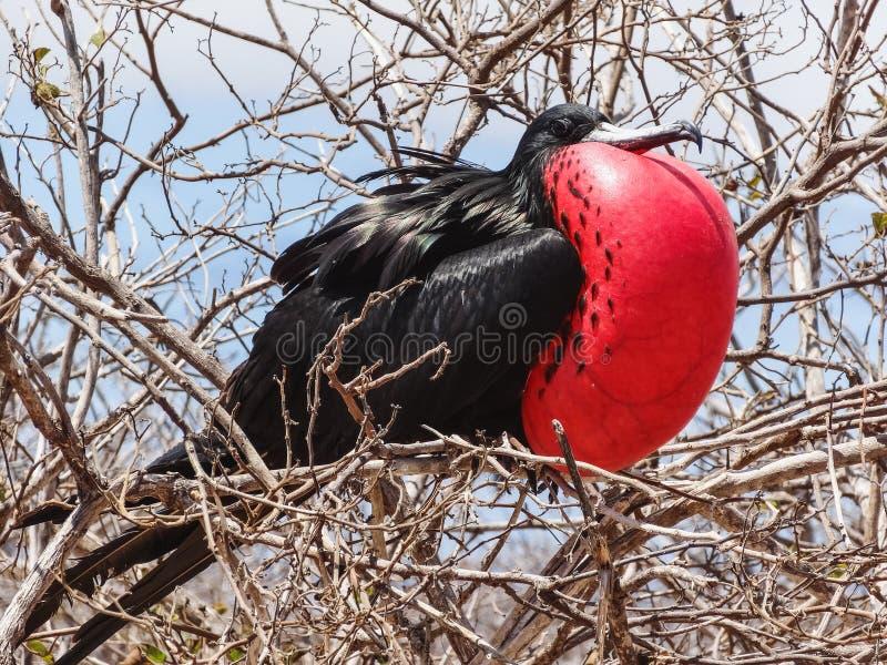 De grote minderjarige van frigatebirdfregata op genovesaeiland nationaal de Galapagos stock foto's
