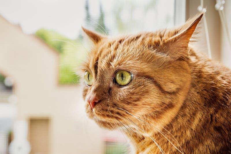 De grote oranje kattenzitting bij de weduwe, met zijn omgeslagen oren, het letten op klinkt van buiten stock afbeelding