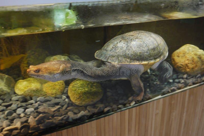 De grote, oude schildpad met een lange hals en een vreselijk gezicht zitten in een aquarium royalty-vrije stock fotografie