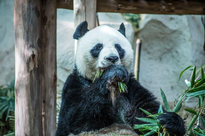 De grote panda eet bamboe in Chiang-de Dierentuin van MAI, Thailand royalty-vrije stock afbeeldingen