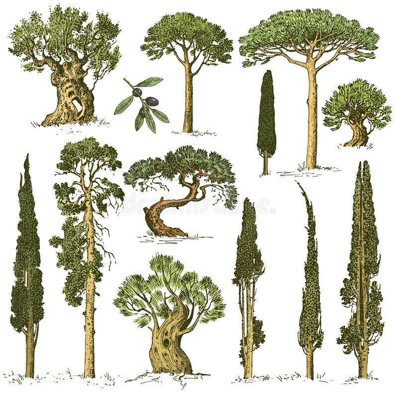 De grote reeks van gegraveerd, hand getrokken bomen omvat pijnboom, olijf en cipres, sparren bosvoorwerp royalty-vrije illustratie