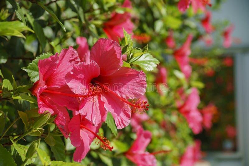 De grote rode bloesem van Hibiscus rosa-sinensis stock afbeelding