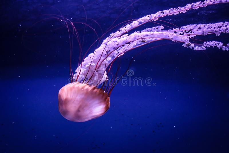 De grote roze overzeese kwallen zwemmen langzaam in blauw water stock foto