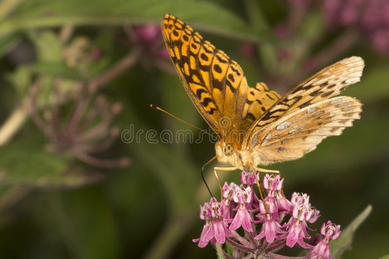 De grote spangled fritillary vlinder milkweed bloemen in Verno stock fotografie