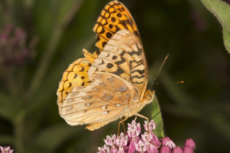 De grote spangled fritillary vlinder milkweed bloemen in Verno royalty-vrije stock fotografie