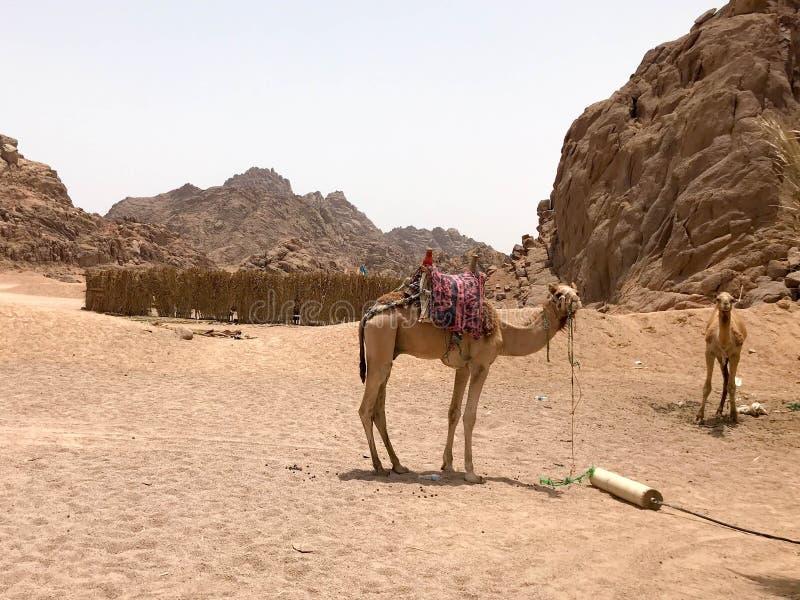De grote sterke sterke kamelen rusten in het parkeerterrein, op een heet geel zand in de woestijn in Egypte tegen de achtergrond  stock fotografie