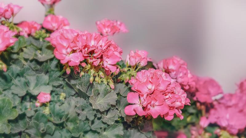 De grote struik van twee kleurt roze geranium met bloemen en knoppen Close-up stock foto's