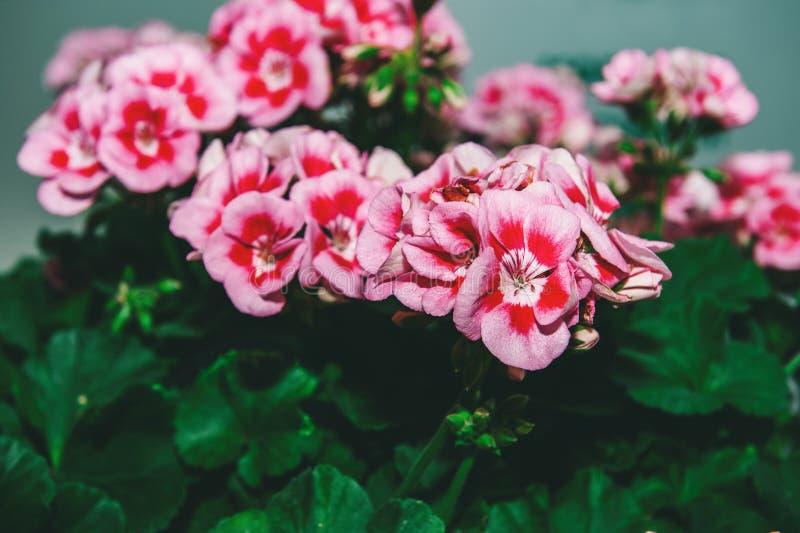De grote struik van twee kleurt roze geranium met bloemen en knoppen Close-up gestemd stock afbeelding