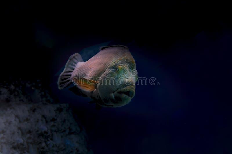 De grote vissen zwemmen diep in de donkere wateren in het overzees De lichtstraal verlicht een grote donkere vis tegen het donker stock foto