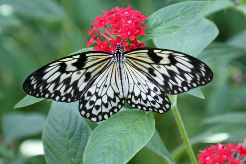 De grote vlinder van de Nimf van de Boom royalty-vrije stock foto