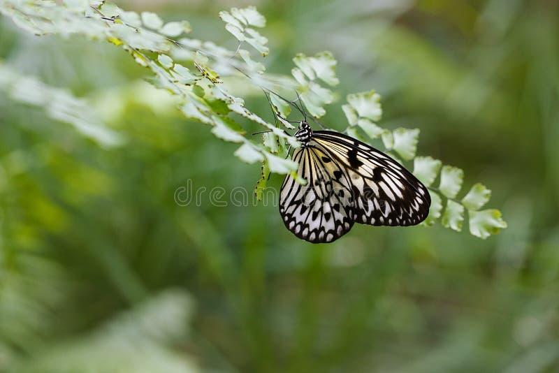 De grote Vlinder van de Nimf van de Boom op het blad van een varen stock afbeelding