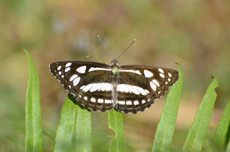 De grote vlinder van de Sergeant stock fotografie