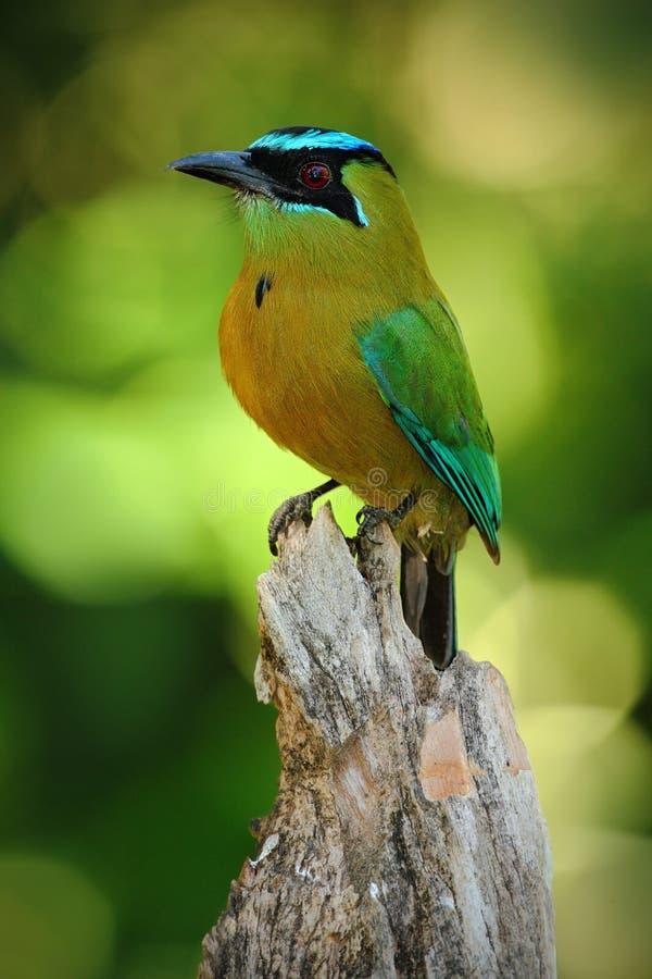 De grote vogel van Nice blauw-Bekroond Motmot, Momotus-momota, wilde aard, Belize stock foto's