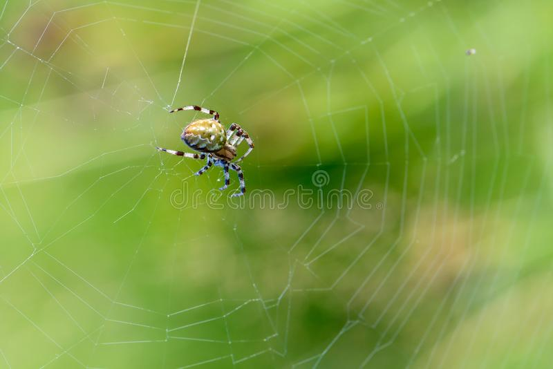 De grote vrouwelijke spin zit in het centrum van zijn spiderweb stock fotografie