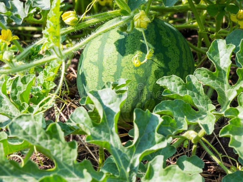 De grote watermeloen groeide bij het plattelandshuisje in centraal Rusland stock afbeelding