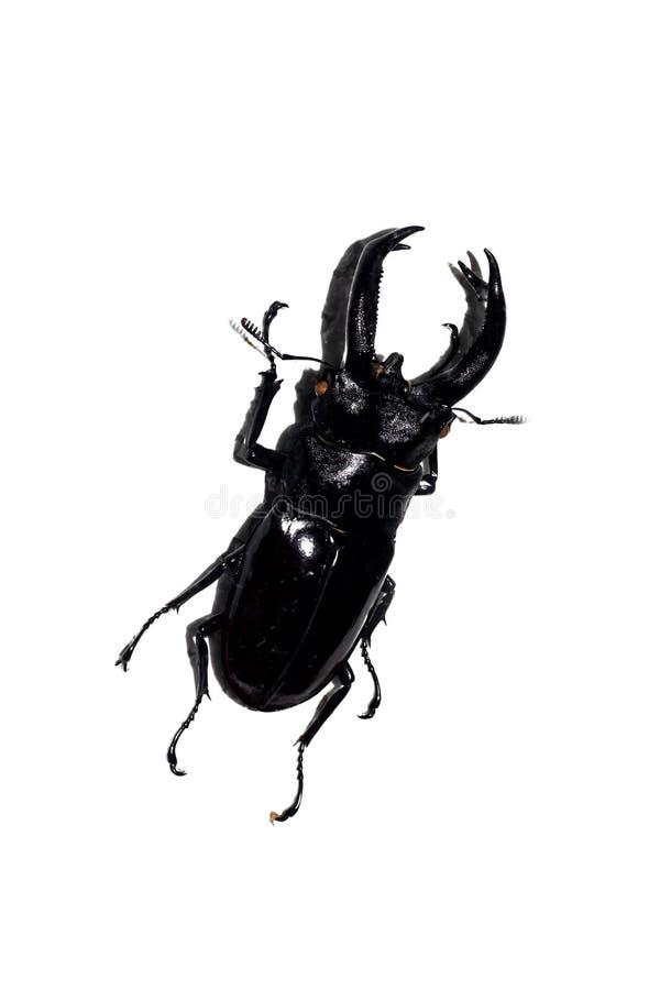 De grote zwarte kever, isoleert op een witte achtergrond stock fotografie