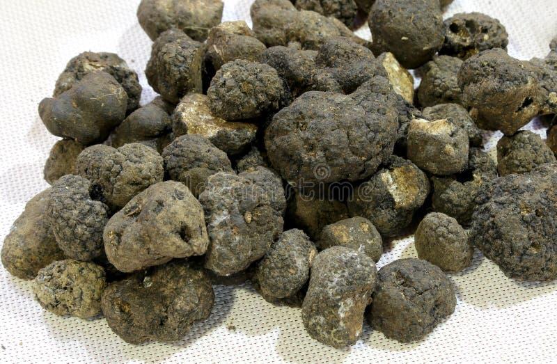 De grote zwarte truffel schiet zeer waardevol als paddestoelen uit de grond royalty-vrije stock foto's