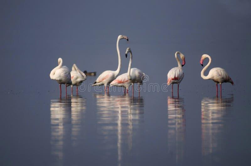 De grotere flamingo, Phoenicopterus-roseus die zich in water met bezinning in Bhigwan, Pune, Maharashtra, India bevinden royalty-vrije stock foto's