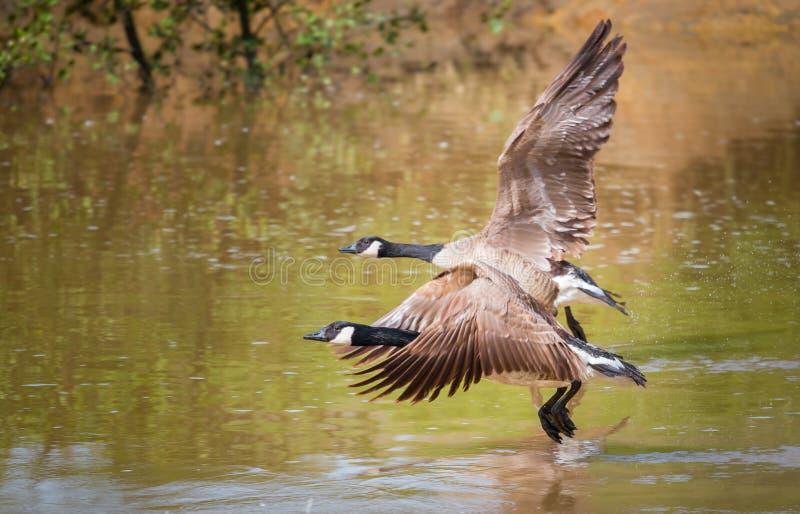De grotere ganzen van Canada tijdens de vlucht stock fotografie