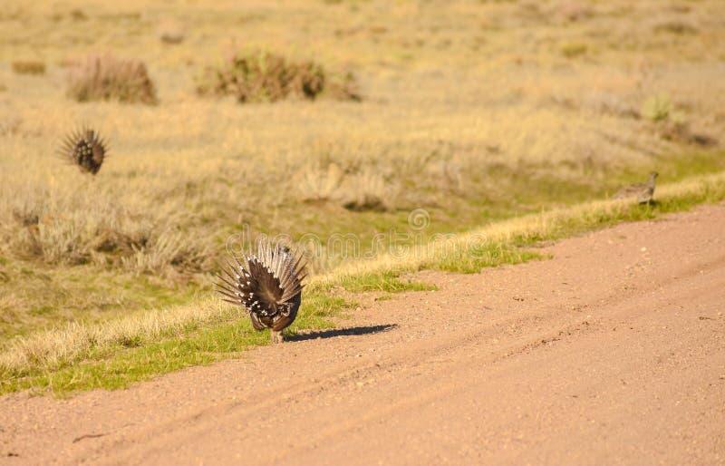 De grotere Natuurlijke Habitat van Sage Grouse Wild Birds In stock afbeeldingen
