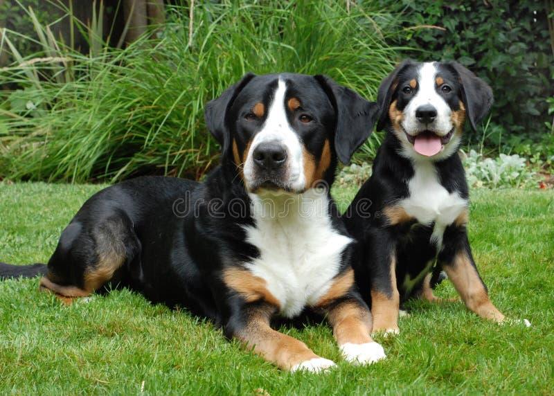 De grotere Zwitserse Hond, de volwassene en het puppy van de Berg royalty-vrije stock foto