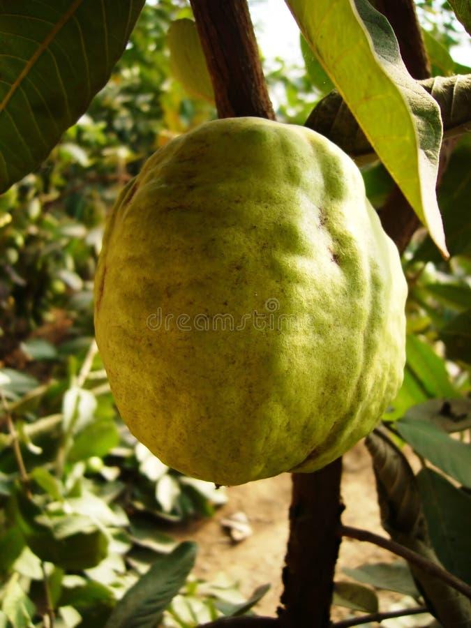 De guave stock afbeeldingen