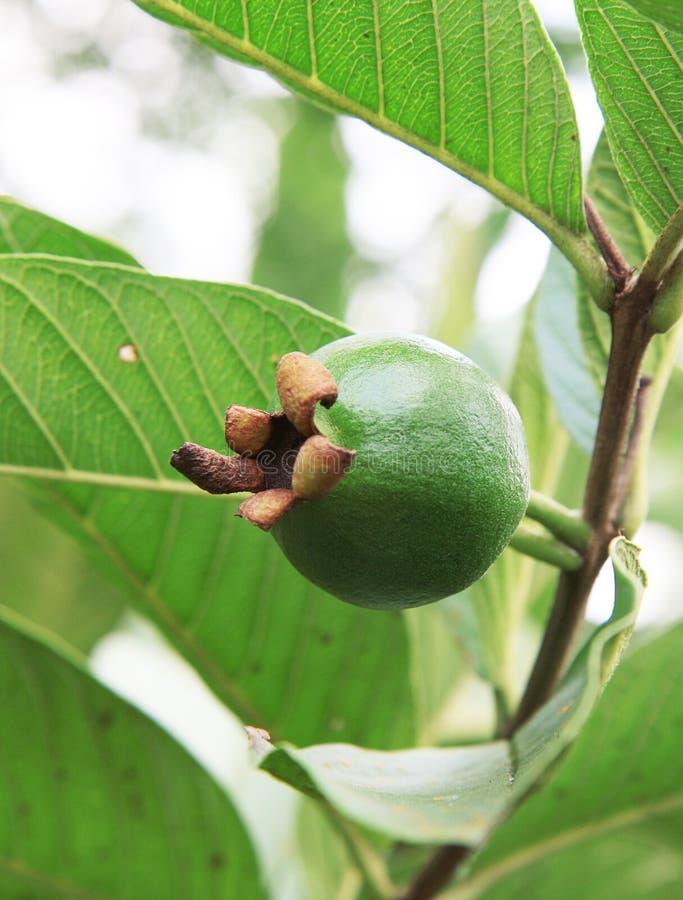 Download De guave van de Baby stock foto. Afbeelding bestaande uit vers - 10779720