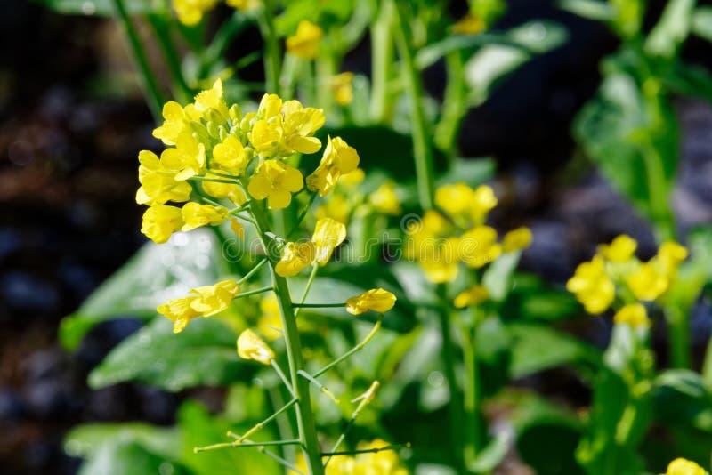 De gula blommorna av kärnar ur i den hem- trädgården royaltyfri foto